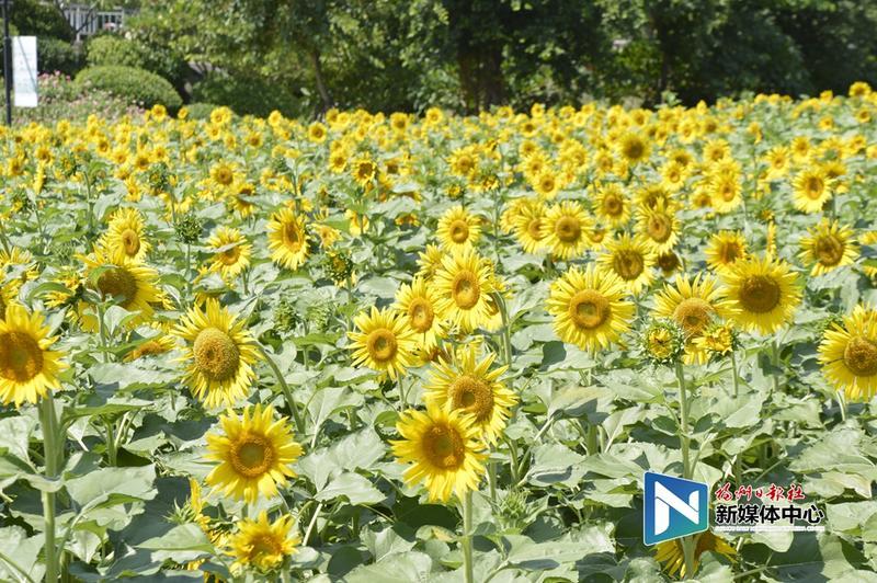 花海公园3.5万平方米向日葵盛放献礼国庆