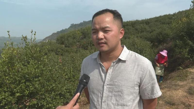 """连江蓼沿乡千亩油茶喜获丰收,高山结出""""致富果""""!"""
