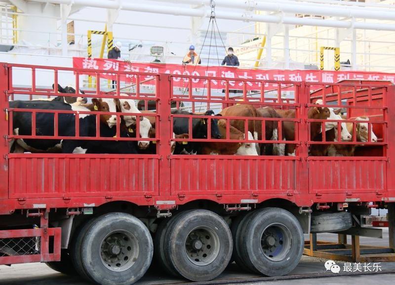 4000头澳大利亚种牛运抵长乐