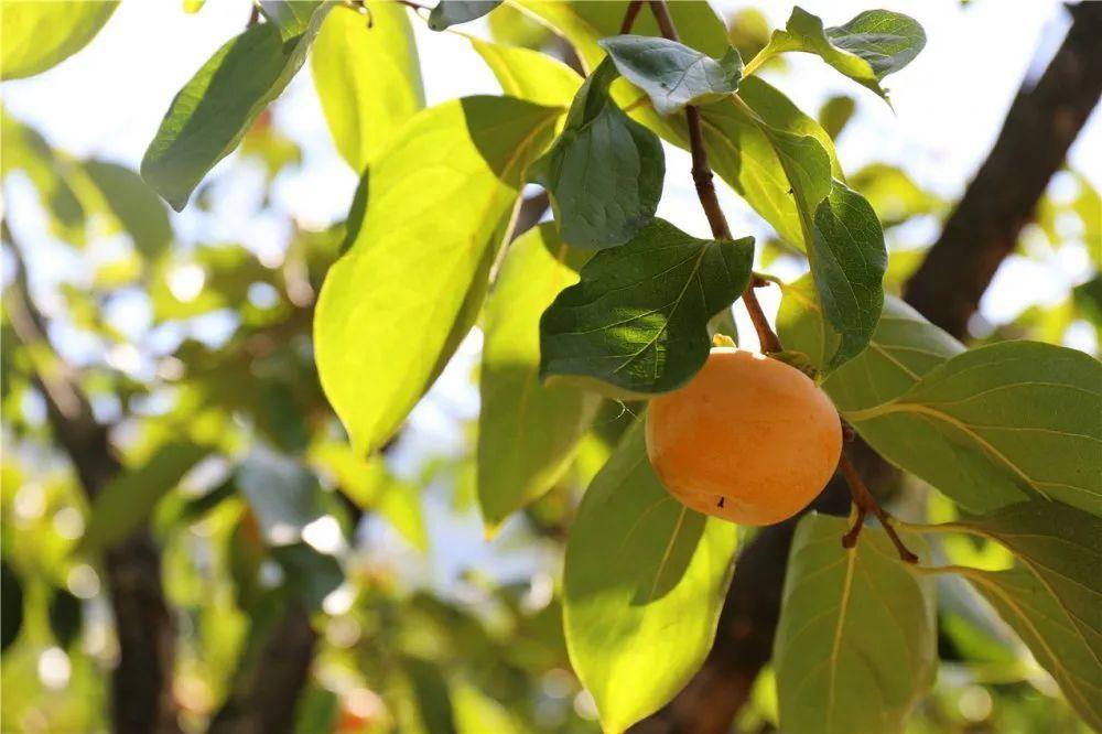 永泰这里的柿子晒秋啦!橙橙黄黄惹人馋