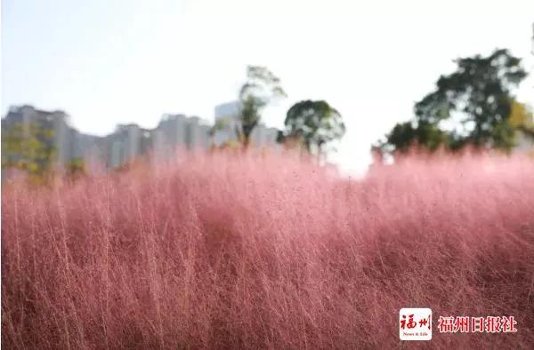 宛若仙境!福州这儿的粉黛乱子草,看完心跳加速……